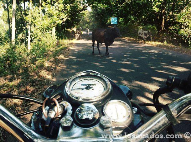 Vache sur la route