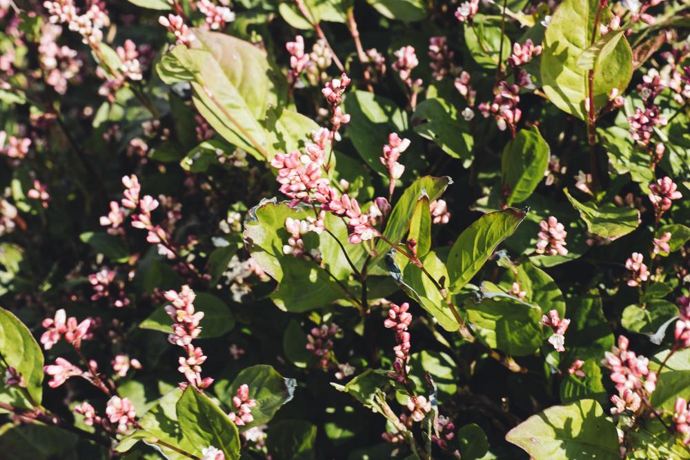 Plante indigo naturelle